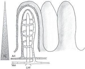 La microvascularización intestinal (ii). Esquema de la distribución anatómica de la microvascularización intestinal (arteria, vena y vaso linfático) a nivel de la vellosidad. Se ilustra el paso de moléculas de pequeño peso molecular con puntos, así como el mecanismo de contracorriente. El triángulo de la izquierda representa el gradiente de concentración de oxígeno desde la base hasta la punta de la vellosidad.