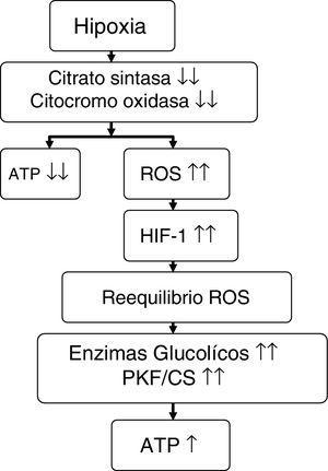Propuesta sobre el efecto que ejerce la hipoxia en el metabolismo energético. Fuente: adaptado de Raguso et al.7,42. ATP: trifosfato de adenosina; HIF-1: factor inductible por la hipoxia-1; PKF/CS: relación fosfofructocinasa/citrato sintasa; ROS: especies reactivas de oxígeno.