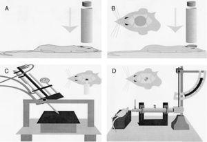 Modelos de traumatismo craneoencefálico en roedores. (A) Modelo de caída de peso sobre el cráneo. (B) Modelo de impacto-aceleración por caída libre de un peso: modelo de Marmarou. (C) Modelo de impacto cortical controlado. (D) Modelo de percusión por fluido. Fuente: Morales DM, Marklund N, Lebold D, Thompson HJ, Pitkanen A, Maxwell WL, et al. Experimental models of traumatic brain injury: do we really need to build a better mousetrap? Neuroscience. 2005;136:971-89. doi:10.1016/j.neuroscience.2005.08.030.