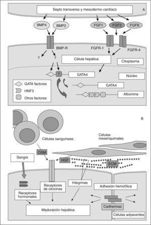 Diferenciación hepática. A: posible modelo de la especificación temprana hepática. B: rutas promotoras de los estadios terminales del desarrollo hepático. (Modificado de Haynesworth et al46.)