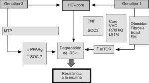 El mecanismo implicado en el desarrollo de resistencia a la insulina en la infección por virus C depende del genotipo viral. En el genotipo 1, la proteína del core aumenta la síntesis del receptor de la rapamicina en mamíferos (mTOR) favoreciendo la degradación del receptor soluble de insulina. Por el contrario, la resistencia a la insulina en el genotipo 3 se debe al incremento de la producción de la señal de la sustancia supresora de citocinas (SOC) y la disminución de la expresión de PPAR γ.