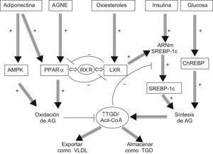 Homeostasis hepática de las grasas. El receptor X del hígado promueve la biosíntesis de los ácidos grasos mientras que el receptor α de los ligandos de la proliferación peroxisomal induce la oxidación de éstos. AGNE: ácidos grasos no esterificados; AMPK: quinasa activada por adenosin monofosfato; ChREBP: proteína de unión al elemento de respuesta a hidratos de carbono; LXR: receptor X del hígado; PPAR-α: receptor α de los ligandos de la proliferación peroxisomal; RXR: receptor X retinoide; SREBP: proteína de unión al elemento regulador de esteroles; TGD: triglicéridos.