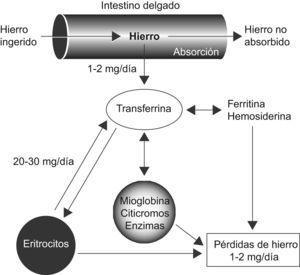 Ciclo del hierro, intercambio y distribución del contenido de hierro entre los distintos compartimentos en el adulto humano sano (Modificado de Boccio J et al, 2003). Publicado con permiso de Muñoz et al (Anemia 2009).