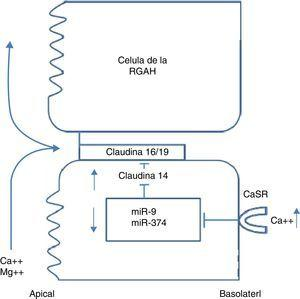 Regulación de las claudinas de la RGAH por el calcio extracelular.