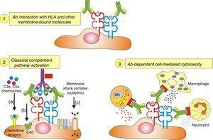 Ligation of HLA molecules by high titers of anti-HLA antibodies can generate: (1) Direct tissue damage by increasing the expression of fibroblast receptors (FGFR) and cell proliferation. (2) Activation of the classic complement pathway. (3) Cytotoxicity mediated by antibodies and Fc receptors causing capillaritis and/or glomerulitis. FGF: fibroblast growth factor.