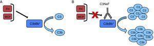 C3NeF. A) En condiciones normales, la convertasa de C3 es capaz de cortar C3 en C3b y C3a, pero existen proteínas reguladoras (FH, MCP) que favorecen su disociación y regulan su activación espontánea. B) La existencia del C3NeF estabiliza la convertasa, impide la acción de estos reguladores y permite que permanezca activa durante más tiempo y sea capaz de cortar más C3.