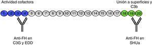 Autoanticuerpos anti-FH. El FH está formado por 20 dominios SCR. En el extremo N-terminal de la proteína (SCRs 1-4) es donde reside la actividad cofactora del FI y frente a donde están dirigidos los autoanticuerpos descritos en pacientes con C3G y EDD. A través de los SCRs 18-20 el FH se une a las superficies celulares y al C3b que se ha depositado en ellas. Los autoanticuerpos anti-FH en el SHUa reconocen esta región e impiden la unión del FH a las células endoteliales y la regulación de la vía alternativa sobre ellas.