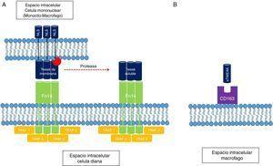 A) Interacción TWEAK/Fn14. El receptor Fn14 es capaz de ligar mTWEAK y sTWEAK y facilitar el reclutamiento de dominios del tipo TRAF, que inician la cascada de señalización intracelular. B) El receptor tipo scavenger de macrófagos también es capaz de ligar sTWEAK y facilitar su interiorización dentro del citoplasma. NLS: secuencias de localización nuclear; sTWEAK: TWEAK soluble.