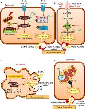 Key molecular pathways in apoptosis and in diverse regulated necrosis forms. (A) Apoptosis and necroptosis. TNF superfamily cytokines may activate both apoptosis and necrosis, inhibition of caspases promotes the occurrence of necroptosis. (B) Ferroptosis. (C) Pyroptosis. (D) Mitochondria permeability transition regulated necrosis (MPT-RN). Fer-1: ferrostatin-1; MPT-RN: mitochondria permeability transition-regulated necrosis; Nec-1: necrostatin-1; SfA: sanglifehrin A; zVAD: pan-caspase inhibitor z-VAD-fmk.
