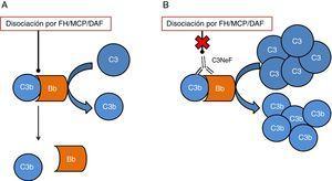 Esquema del efecto de C3NeF sobre la convertasa de C3 de la vía alternativa. A) En condiciones fisiológicas, la convertasa de C3 escinde la molécula de C3 en C3a y C3b, en un proceso regulado por proteínas como factor H (FH), MCP o DAF. B) Cuando C3NeF se une a la convertasa, impide que los reguladores FH, MCP o DAF puedan disociar el complejo, permaneciendo activa durante más tiempo y ocasionando un aumento del consumo de C3.