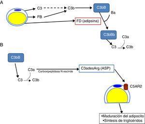 Papel del sistema del complemento en la biología del adipocito. A) Los adipocitos secretan componentes del complemento como C3, factor B (FB) y factor D (FD, adipsina) y son capaces de generar una convertasa de C3 (C3bBb) de la vía alternativa en sus inmediaciones. B) C3a se escinde por activación de la molécula de C3. A su vez C3a se convierte en C3adesArg (acylation stimulating protein [ASP]) por acción de la carboxipeptidasa N del tejido adiposo. C3adesArg actúa como ligando para su receptor, C5AR2, el cual se localiza en la superficie de los adipocitos, y cuya función principal es señalizar para estimular la síntesis de triglicéridos durante la maduración del tejido adiposo.