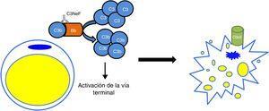 Mecanismo patogénico del C3NeF en la lipodistrofia parcial adquirida. C3NeF se va a servir de las proteínas del complemento que el adipocito sintetiza y va a conducir a una activación descontrolada de la vía alternativa en las inmediaciones de la célula. Esta situación progresa hasta la activación de la vía terminal y la formación del complejo de ataque a la membrana en la superficie del adipocito, provocando su lisis.
