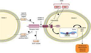 Esquema de la vía de señalización Notch y respuestas celulares; se muestran los principales inhibidores y antagonistas.