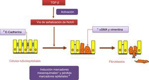 La vía Notch regula el proceso de transición epitelio-mesenquimal inducido por TGF-β en células tubuloepiteliales.