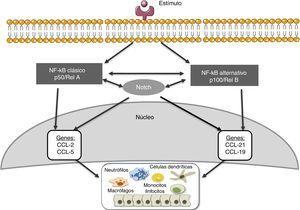 Relación entre las vías de señalización de Notch y NF-κB, implicaciones en el proceso inflamatorio renal.