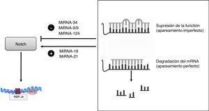Regulación de la vía Notch por miRNA.