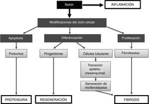 Resumen de las acciones de la vía Notch en el riñón.