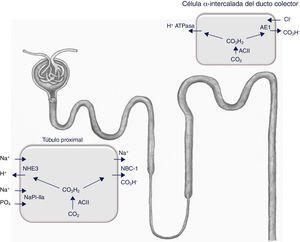 La expresión del intercambiador Na+/H+ (NHE3), del cotransportador Na/fosfato NaPi-IIa y de la subunidad B2 de la H+-ATPasa vacuolar (no representada en la figura) se reduce en la membrana del borde en cepillo del túbulo proximal de las ratas hipotiroideas. Además, existe una reducción de la actividad del cotransportador tubular proximal Na+/HCO3− (NBCe1) y una mayor expresión del intercambiador Cl−/HCO3− (AE1) de las células α-intercaladas sitas en el túbulo conector y en el ducto colector cortical. En condiciones de acidosis, la expresión de NBCe1 aumenta en las ratas hipotiroideas y se incrementan el número de células α-intercaladas12. ACII: anhidrasa carbónicaII.