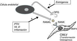 Esquema del eje OPG-RANKL-RANK y calcificación vascular. BMP: proteína morfogénica ósea&#59; CMLV: célula de músculo liso vascular&#59; NF-kB: factor nuclear potenciador de las cadenas ligeras kappa de las células B activadas&#59; OPG: osteoprotegerina&#59; PTH: parathormona&#59; RANK: receptor activador de NF-kB&#59; RANKL: ligando del receptor activador de NF-kB.