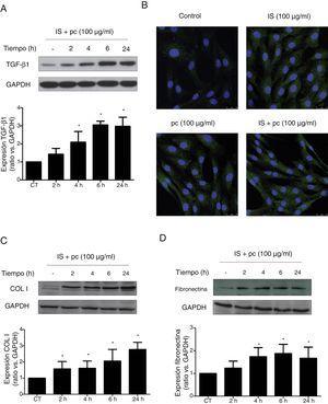 Las dosis altas de toxinas urémicas inducen la expresión de la citocina profibrótica TGF-β1 o de proteínas de matriz extracelular en células de músculo liso vascular. Las células de músculo liso de aorta humana fueron incubadas con medio suplementado con suero humano al 2,5%, durante 24h. Posteriormente fueron tratadas durante 2, 4, 6 o 24h (A, C y D) o 24h (B) con toxinas urémicas: indoxil-sulfato (IS 100μg/ml), para-cresol (pc 100μg/ml) o una mezcla de ambas (IS+pc 100μg/ml). Se enseñan Western blots representativos de TGF-β1 (A), colágeno i (COL I, C) y fibronectina (D). Los niveles de GAPDH fueron determinados como sus respectivos controles endógenos. Las barras representan los valores del análisis densitométrico de los blots normalizados contra el control endógeno. La expresión de TGF-β1 se analizó mediante inmunofluorescencia (B). Se enseñan imágenes representativas de las fotografías obtenidas mediante microscopia confocal (×100). Los valores se representan como la media±SEM. *p<0,05 vs. Control (CT, células no tratadas).