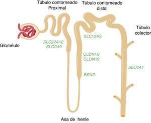 Esquema de la nefrona en el que se muestran los segmentos del túbulo donde se expresan los genes mencionados en el texto. Los genes SLC22A12 y SLC2A9 que codifican los transportadores de ácido úrico URAT1 y GLUT9 respectivamente, se expresan en el túbulo proximal renal. Los genes CLDN16 y CLDN19 que codifican las claudinas 16 y 19 respectivamente, se expresan en las zonas de unión estrechas de la rama gruesa ascendente del asa de Henle. El gen BSND que codifica la barttina se expresa en este último segmento tubular aunque, también, en las células de la stria vascularis del oído interno. El gen SLC12A3 que codifica el cotransportador de NaCl sensible a tiazidas se expresa en las células del túbulo contorneado distal. El gen SLC4A1 codifica las isoformas del intercambiador de aniones 1 (AE1) propias de eritrocitos y riñón. En ese último caso, la proteína se localiza en el ducto colector renal.