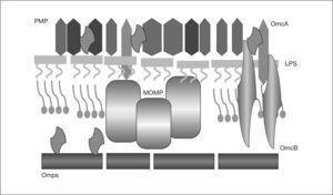 Proteínas de la envuelta celular de Chlamydophila pneumoniae. LPS: lipopolisacárido; Omc: complejo proteico de membrana externa; PMP: proteínas polimórficas de la membrana externa.