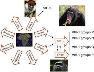 En África se han descrito más de 30 especies de monos infectados naturalmente con variedades de virus de la inmunodeficiencia del simio (SIV). El que infecta al Sooty mangabey (SIVsm) es el origen del VIH-2 en humanos. El VIH-1 grupo M procede del virus (SIVcpz-ptt) que infecta a una de las 4 variedades de chimpancé (Pan troglodytes troglodytes) que habita en bosques del sur de Camerún. El ancestro del VIH-1 grupo N también se ha encontrado en chimpancés de esa misma zona. El origen del grupo O está menos claro, ya que hasta el momento no se ha relacionado con ningún aislamiento en chimpancé y parece más relacionado con el SIVgor que infecta a poblaciones de gorila. Recientemente se ha identificado la infección en humanos por un VIH-1 más cercano que el grupo O al SIVgor y se ha propuesto la denominación de grupo P.