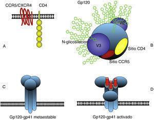 La estructura principal de la envoltura del VIH consiste en un trímero de gp120 y gp41 anclado en la membrana externa (C). Gp120 interacciona con las moléculas CD4 y CCR5 o CXCR4 (B) y se produce un cambio conformacional secuencial que activa los dominios fusogénicos de gp41 que median la fusión entre las membranas del virus y la célula (D). La subunidad gp120 presenta en el exterior zonas hipervariables y una abundante glicosilación que dificulta la neutralización por anticuerpos. La zona responsable del reconocimiento de CD4 es poco accesible así como la zona de unión al co-receptor CCR5 o CXCR4 que solo se constituye espacialmente después de la interacción con CD4 (B).