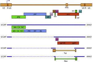 Organización del genoma de VIH-1. En la forma proviral el virus integrado esta flanqueado por las regiones terminales repetidas (LTR) compuestas or las regiones U3, R y U5. El LTR 5??controla la expresión de los genes estructurales: gag, pol y env, y los accesorios: tat, rev, nef, vif, vpu y vpr. MA: Matriz, CA: Cápside, NC: Nucleocápside, IN: Integrasa, RT: Retrotranscriptasa, PR: Proteasa. Los 9 genes de VIH-1 se expresan por medio de diferentes mensajeros a partir del provirus (ADN) integrado. Los ARN más largos son exportados al citoplasma por un mecanismo Rev-dependiente y constituyen el genoma de nuevas partículas o son traducidos a las proteínas estructurales Gag, Pol y Env. Las proteínas reguladoras o accesorias son producto de extenso procesamiento (splicing) del ARN en el núcleo donde se producen hasta 7 versiones diferentes del ARN transcrito.