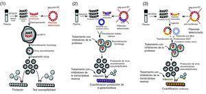 Ensayos de virus recombinantes para la determinación fenotípica de la resistencia a los antirretrovirales. En el método Antivirogram® (Virco) (1) los virus recombinantes se preparan mediante transfección de células MT-4 con el producto amplificado PR-RT y con un plásmido que contiene el genoma completo del VIH salvo la región gag-pro-RT. La CI50 del virus recombinante se determina en cultivos, midiendo la viabilidad de células MT4 infectadas con el virus recombinante en presencia de diluciones de cada antirretroviral. El método Phenoscript (Viralliance) (2), combina aspectos de los otros dos métodos: un proceso de recombinación homóloga, como en el Antivirogram, con un sólo ciclo de replicación viral, como en el Phenosense. Las células diana (P4) contienen el gen de la β-galactosidasa controlado por LTR de HIV de modo que cuando se acumulan suficentes productos del gen TAT en la célula infectada, se expresa el gen de la β-galactosidasa y su producto se puede medir mediante colorimetría o fluorimetría. El método Phenosense (ViroLogic) (3), a diferencia del Antivirogram, es un ensayo de un solo ciclo de replicación viral, lo que reduce el tiempo para los resultados. Utiliza un proceso de ligación, más que de recombinación homologa, para introducir el fragmento amplificado mediante RT-PCR en el genoma de una partícula de VIH en la que el gen env ha sido sustituido por un gen productor de luciferasa. En un ciclo de replicación este virus es capaz de producir todas las proteínas de VIH a excepción de las de envoltura y, en su lugar, se expresa el gen de la luciferasa. La CI50 del virus recombinante se determina cuantificando la expresión del gen de la luciferasa en cultivos de célula infectadas con el virus recombinante en presencia de antirretrovirales.