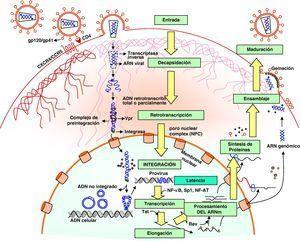 Ciclo biológico del virus de la inmunodeficiencia humana.