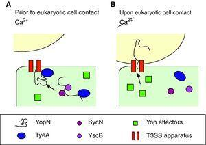 Optimal parameters and mechanism to start injection of the Ysc T3SS effectors. (A) Yersinia has acclimated to mammalian host temperatures. The Ysc injectisome is installed and a stock of Yop proteins is synthesized. Nonetheless, the SycN/YscB chaperone complex has targeted the YopN/TyeA complex to the Ysc apparatus, hence blocking the effector transport. (B) Upon contact with the eukaryotic cell conformational changes allow the release of the YopN/TyeA complex from the Ysc apparatus so that the YopN protein can be transported to the eukaryotic cytoplasm. Secretion of the Yop effectors then follows.