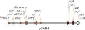 Representación parcial del plásmido pEK499, formado por la fusión de dos plásmidos de los grupos FII y FIA. Porta hasta 10 genes que confieren resistencia a 8 clases de antibióticos, entre ellos, las β-lactamasas blaTEM-1, blaCTX-M-15 y blaOXA-1; genes de resistencia aminoglucósidos, aac6-Ib-cr; macrólidos, mph(A); cloranfenicol, catB4; tetraciclina, tet(A); estreptomicina, aadA5 y sulfonamida, sulI. Posee dos copias del sistema vagD-vagC, asociado a virulencia, y los sistemas toxina-antitoxina, pemI-pemK y ccdA-ccdB, implicados en el mantenimiento del plásmido, mediante el proceso de muerte post-segregación13.