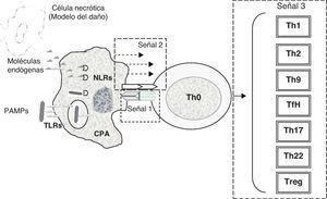 Mecanismos generales de acción de los adyuvantes. La inmunidad innata está directamente relacionada con la estimulación de una respuesta inmune antígeno-específica. Diversos adyuvantes contienen componentes microbianos (PAMP) que se unen a TLR de membrana o NLR citosólicos en las CPA (señal 0), o pueden producir citólisis en el sitio de inoculación liberando moléculas endógenas (DAMP, del inglés: Danger-Associated Molecular Patterns) que también se unen a los TLR y NLR, conllevando a la activación de las CPA (tabla 1). Otros adyuvantes favorecen la presentación antigénica (señal 1) mediante el efecto depósito con reclutamiento de células dendríticas para su traslado a los linfonodos regionales. La activación de las CPA favorece la expresión de moléculas coestimuladoras de membrana o liberación de mediadores solubles (citocinas) que participan en la activación de los linfocitos T inactivados o Th0 (señal 2). Los linfocitos T, una vez activados, pueden polarizarse hacia un patrón que puede ser: Th1, Th2, Th9, TfH, Th17, Th22 o Treg (tabla 2), y en esto el tipo de adyuvante es determinante.