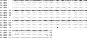 Alignment of common fragment sequences obtained for the gp60 gene of Cryptosporidium hominis. SNP are marked.