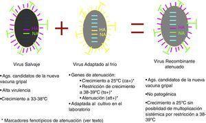 Producción de cepas vacunales para la elaboración de vacunas antigripales atenuadas.