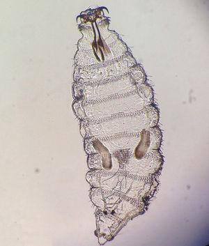 Larva de primer estadio de Oestrus ovis ×10 en examen microscópico.