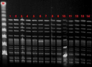 Sma-I PFGE pattern. M: Lambda ladder marker; lanes 1–13, VREF colonizing isolates recovered from 13 patients at the nephrology ward; lane 14, VREF environmental isolate from nephrology ward.