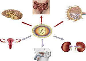 Reservorios anatómicos del VIH.