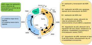 Estructura del papilomavirus humano y función de sus proteínas virales.