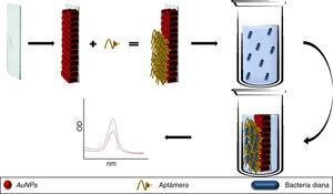 Aptámeros conjugados a AuNPs e inmovilizados sobre una placa de vidrio (chip). El aptámero une a las bacterias diana modificando los picos de absorción de las AuNPs. En soluciones sin el patógeno los picos de absorción se mantienen idénticos al pico de absorción basal de las AuNPs. AuNPs: nanopartículas de oro.