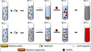 Los aptámeros adicionados a un caldo bacteriano ligan con especificidad a las bacterias diana, por lo que, al recuperar el botón celular mediante centrifugación, no hay aptámeros libres en la solución, permitiendo la agregación de AuNPs. Por otra parte, la ausencia de la bacteria específica permite la presencia de aptámeros libres, que mantienen dispersadas a las AuNPs. AuNPs: nanopartículas de oro.