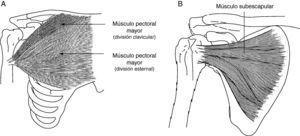 A) Músculo pectoral mayor: el músculo pectoral mayor tiene como función la aducción, rotación interna y flexión del brazo. B) Músculo subescapular: este músculo es uno de los principales rotadores internos del hombro. Como parte del patrón flexor sinérgico en espasticidad hemipléjica, el subescapular está tónicamente activo, limitando no solo la rotación externa sino también la abducción y flexión del hombro.