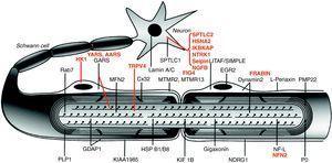 Dibujo esquemático de una fibra nerviosa mielinizada. Las proteínas mutadas, causales de CMT, HMN o HSAN, identificadas hasta 2006 figuran en negro, mientras que las descritas con posterioridad aparecen en rojo. Se mantienen las designaciones y acrónimos anglosajones porque son los que figuran en PubMed y OMIM. El significado de los acrónimos se recoge en el pie de la tabla 1. Nótese que mutaciones de SPTLC1 (serine palmitoyltransferase long chain base subunit 1), HSN2 (hereditary sensory neuropathy type 2), NTRK1 (neurotrophic tyrosine kinase receptor type 1), IKBKAP (inhibitor of kappa light poypeptide gene enhancer in B-cells) y NGF1 (nerve growth factor beta polypeptide) están involucradas en la etiopatogenia de la neuropatías sensitivas y autonómicas hereditarias, no revisadas en este trabajo (véase texto). Adaptado de Niemann et al6.
