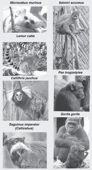 Imágenes de primates no humanos: Microcebus murinus (lémur ratón), Lemur catta (lémur de cola anillada), Callithrix jacchus (marmoset o tití), Saguinus imperator (tamarino), Saimiri sciureus (mono ardilla), Pan troglodites (chimpancé) y Gorila gorila (gorila). Fotografías cedidas por Faunia-Madrid (Lemuriformes y Platyrrhinos) y Zoo-Aquarium-Madrid (chimpancé y gorila).