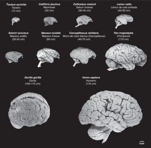 Imágenes de cerebros de primates no humanos en comparación con el cerebro humano. Se conserva en las fotografías la proporcionalidad real. Se observa que junto al aumento de tamaño de la masa cerebral, progresivamente aumenta el número de circunvoluciones cerebrales, así como el volumen del cortex prefrontal y frontal. Entre paréntesis figura la longitud media del cuerpo (sin incluir la cola en las especies que la tienen) del primate adulto. Las imágenes proceden de University of Wisconsin and Michigan State Comparative Mammalian Brain Collections [consultado 26 Abr 2011]. Disponible en: http://brainmuseum.org/index.html.