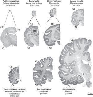 Imágenes de cortes cerebrales coronales de primates no humanos en comparación con el cerebro de rata y humano. Se conserva la proporcionalidad real en las imágenes (en las tres primeras, se complementa con una imagen aumentada para una mejor observación). Se puede apreciar que junto al incremento de tamaño de la masa cerebral, progresivamente aumenta el número de circunvoluciones cerebrales, una característica de los primates no humanos frente a la lisencefalia de los roedores (Cfp=corteza frontoparietal), así como el volumen del cortex parietal (Cp) y temporal (Ct). El hipocampo (Hc) se sitúa en posición dorsal en los prosimios (Lémur catta), de manera similar a lo que ocurre en los roedores (rata), observándose en posición ventral en los simios, al igual que en el humano. Entre paréntesis figura la longitud media del cuerpo (sin incluir la cola en las especies que la tienen) del primate adulto. Las imágenes de primates no humanos proceden de University of Wisconsin and Michigan State Comparative Mammalian Brain Collections [consultado 26 Abr 2011]. Disponible en: http://brainmuseum.org/index.html .