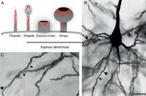 A) Representación esquemática de los filopodios y las espinas dendríticas: delgada, corta sin cuello y hongo. Modificado de Sekino et al.24, 2007. B y C) Fotomicrografía de una neurona piramidal de tercera capa de la corteza cerebral prefrontal de la rata. En la cual se muestra las diferentes formas de espinas dendríticas a lo largo de la dendrita basal. () delga, () corta () y hongo. Técnica de Golgi modificada. Barra de 25μm.