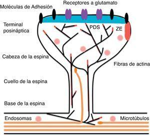 Representación esquemática de una espina en forma de hongo en la que se muestra la maquinaria post-sináptica necesaria para la trasmisión del impulso nervioso. Modificado de Hotulainen y Hoogenraad23, 2010.