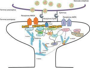 Representación de la cascada de señalizaciones de Rac y Cdc42 activados por los receptores EphB vía kalirina-7. Cdc42 puede promover la polimerización de la actina mediante el complejo IRSp53 (localizado en las espinas conocido como regulador del citoesqueleto de actina). La activación de las vías da inicio al ensamblaje y agrupación de los F-actina esenciales para la formación de los filopodios.
